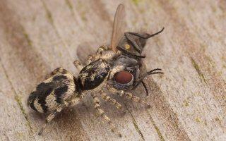 Salticus cingulatus female · baltašonis šokliavoris ♀