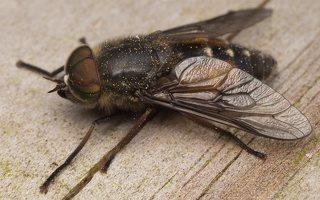 Tabanidae · sparvos 7624