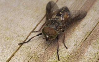 Tabanidae · sparvos 7625