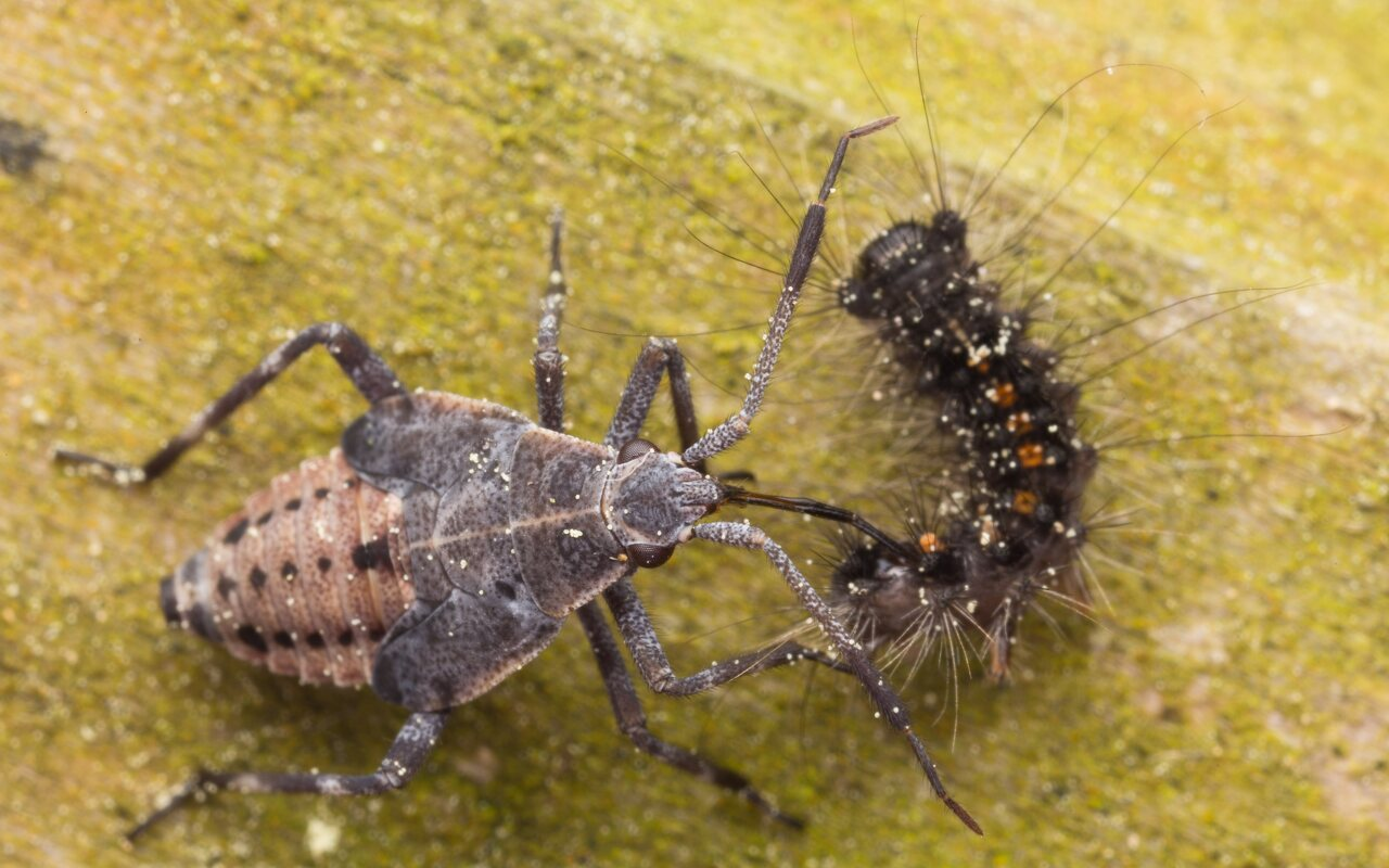 Deraeocoris trifasciatus nymph · trijuostė žolblakė, nimfa -- prey: Lymantria dispar caterpillar · neporinis verpikas, vikšras 7635