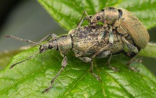 Curculionidae · straubliukas 7648