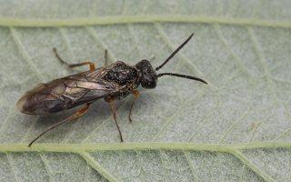 Tenthredinidae · pjūkleliai 7651