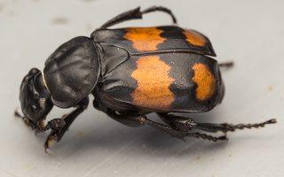 Nicrophorus vespilloides · juodbuožis duobkasys 7734