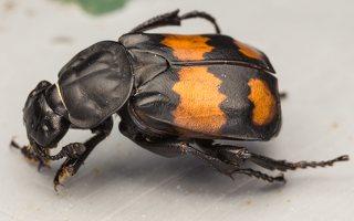 Nicrophorus vespilloides · juodbuožis duobkasys