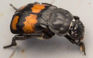 Nicrophorus vespilloides · juodbuožis duobkasys 7736