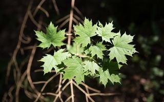 Aceraceae · kleviniai