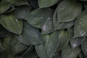 Hosta sp. · melsvė 8720