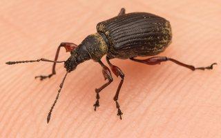Curculionidae · straubliukas 7753