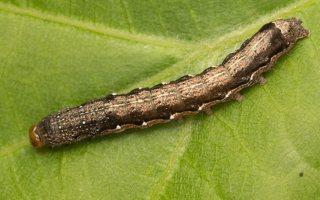 Anorthoa munda caterpillar · rusvasis ankstyvasis pelėdgalvis, vikšras 7754