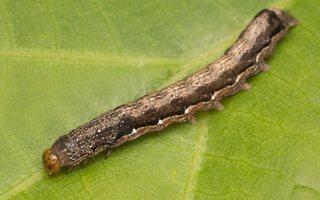 Anorthoa munda caterpillar · rusvasis ankstyvasis pelėdgalvis, vikšras 7755