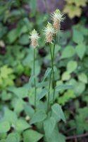 Phyteuma spicatum · varpotoji glaudenė 7769