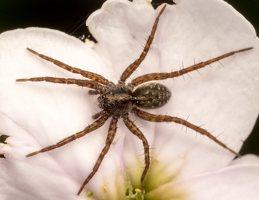 Lycosidae · plėšriavoris 7782