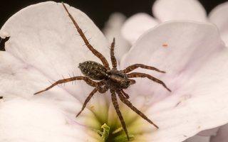 Lycosidae · plėšriavoris 7784
