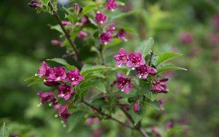 Weigela japonica · japoninė veigelė