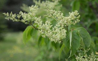 Syringa reticulata · japoninė alyva