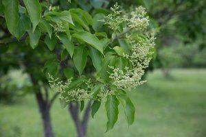 Syringa reticulata · japoninė alyva 7818
