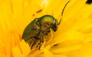 Cryptocephalus sericeus · žaliasis paslėptagalvis 7821