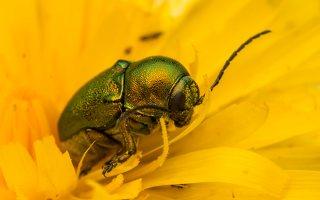 Cryptocephalus sericeus · žaliasis paslėptagalvis 7822