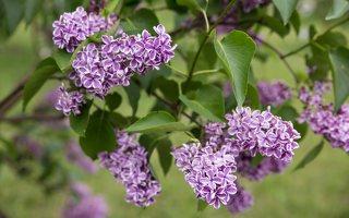 Syringa vulgaris · paprastoji alyva 7875