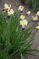 Iris × germanica · barzdotasis vilkdalgis 7888