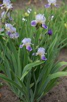 Iris × germanica · barzdotasis vilkdalgis 7889