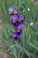 Iris × germanica · barzdotasis vilkdalgis 7890