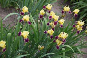 Iris × germanica · barzdotasis vilkdalgis 7891