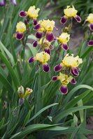 Iris × germanica · barzdotasis vilkdalgis 7892