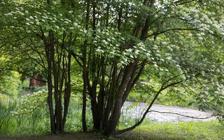 Cornus alternifolia · pražangianapė sedula 7910