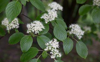 Cornus alternifolia · pražangianapė sedula
