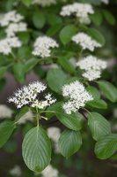 Cornus alternifolia · pražangianapė sedula 7912