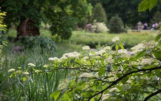 Cornus alternifolia · pražangianapė sedula 7913