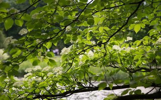 Cornus alternifolia · pražangianapė sedula 7914