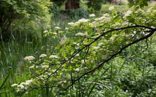 Cornus alternifolia · pražangianapė sedula 7915