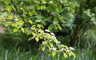 Cornus alternifolia · pražangianapė sedula 7916