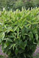 Clematis integrifolia · sveikalapė raganė 7927