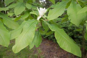 Magnolia tripetala · skėtinė magnolija 7946