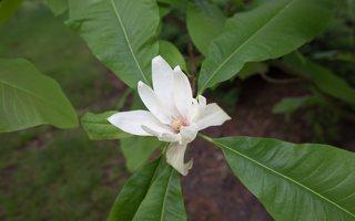 Magnolia tripetala · skėtinė magnolija 7947