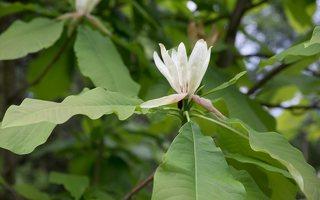 Magnolia tripetala · skėtinė magnolija 7948