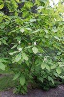Magnolia tripetala · skėtinė magnolija 7949
