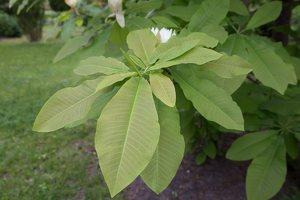 Magnolia tripetala · skėtinė magnolija 7950