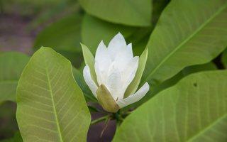Magnolia tripetala · skėtinė magnolija 7951