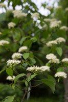 Cornus alternifolia · pražangianapė sedula 7957
