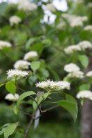 Cornus alternifolia · pražangianapė sedula 7958