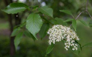 Cornus alternifolia · pražangianapė sedula 7960