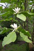 Magnolia tripetala · skėtinė magnolija 7968