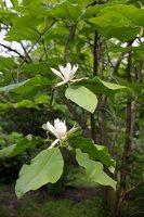 Magnolia tripetala · skėtinė magnolija 7969