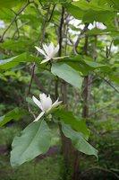 Magnolia tripetala · skėtinė magnolija 7970