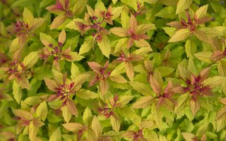 Spiraea japonica 'Magic Carpet' · japoninė lanksva 7989