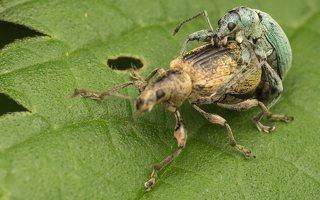 Curculionidae · straubliukas 8120